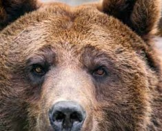 Photograph of a brown bear.